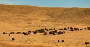 Wild Bison in Grasslands National Park - photo by Don Brown