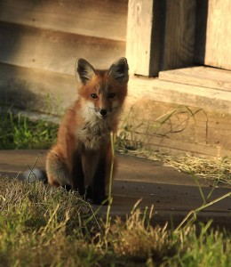 Fox at Don's Place - photo by Don Brown
